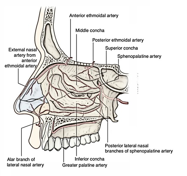 Nasal Cavity: Arterial Supply