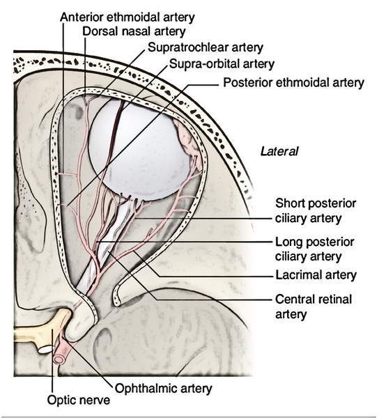Easy Notes On 【Ophthalmic Artery】Learn in Just 4 Minutes!