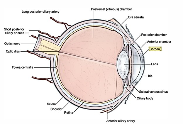 Easy Notes On Eyeball Bulbus Oculilearn In Just 3 Minutes