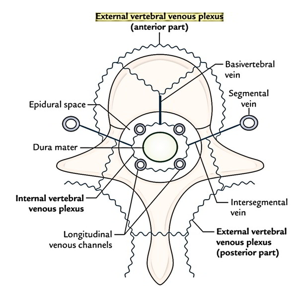 Easy Notes On 【Epidural Space】Learn in Just 4 Minutes!
