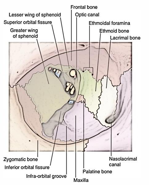 Inguinal Region, Testes and Scrotum (Gross anatomy) Flashcards ...