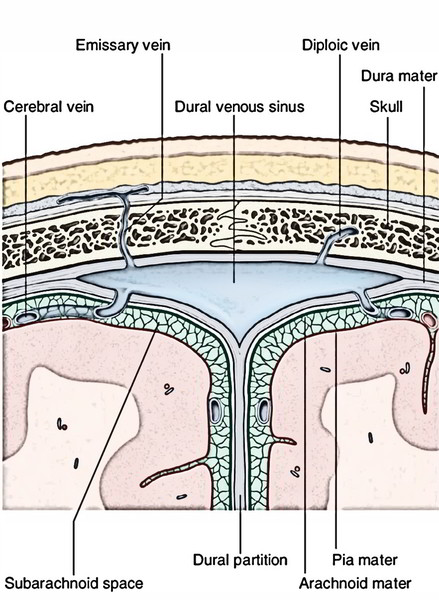 Cranial Cavity - Intracranial Dural Venous Sinuses