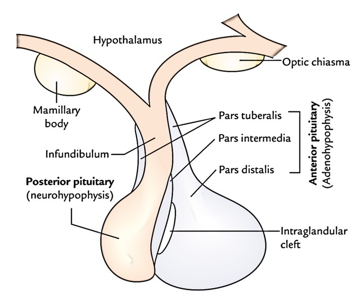 Easy Notes On Pituitary Glandlearn In Just 4 Minutes