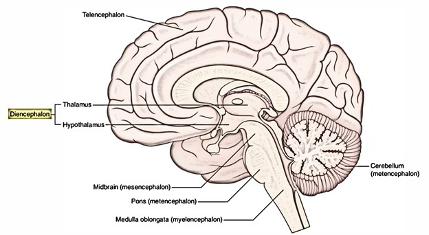 Easy Notes On 【Diencephalon】Learn in Just 4 Minutes!
