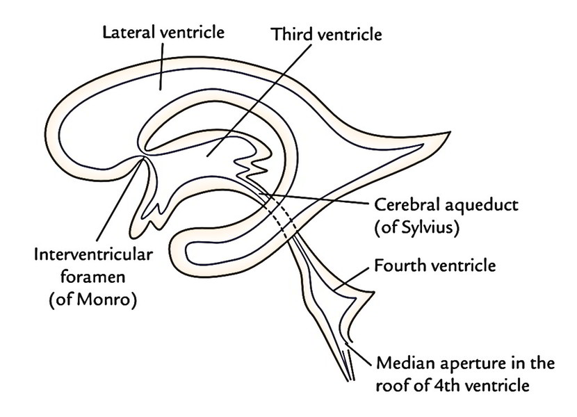 Easy Notes On 【Ventricles of the Brain】Learn in Just 3 Minutes!