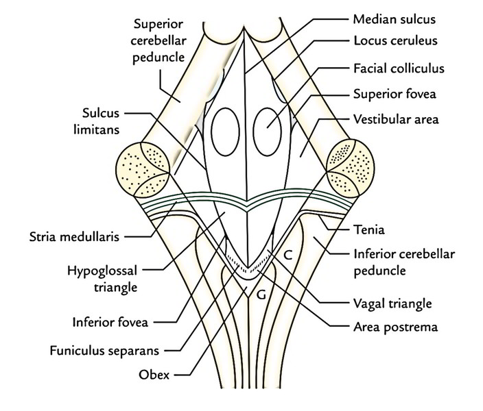 floor of fourth ventricle images thefloors co