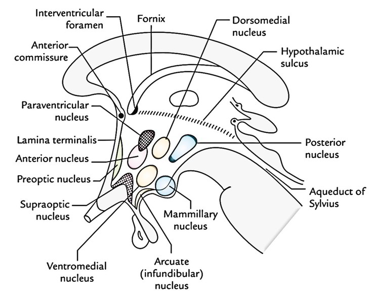 Easy Notes On 【Hypothalamus】Learn in Just 4 Minutes ...