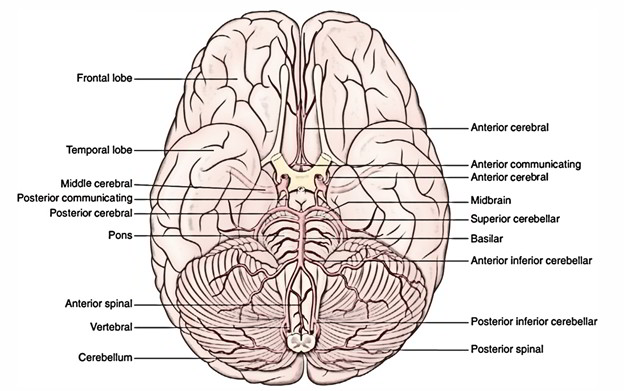 Easy Notes On Arteries Of The Brainlearn In Just 6 Minutes