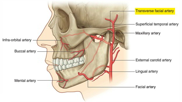 Branches of facial artery
