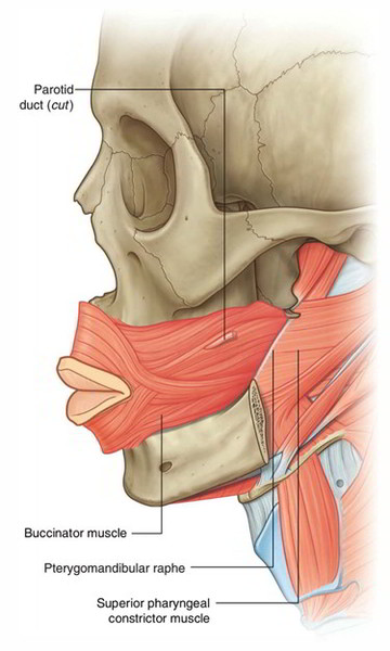 facial muscle attachments