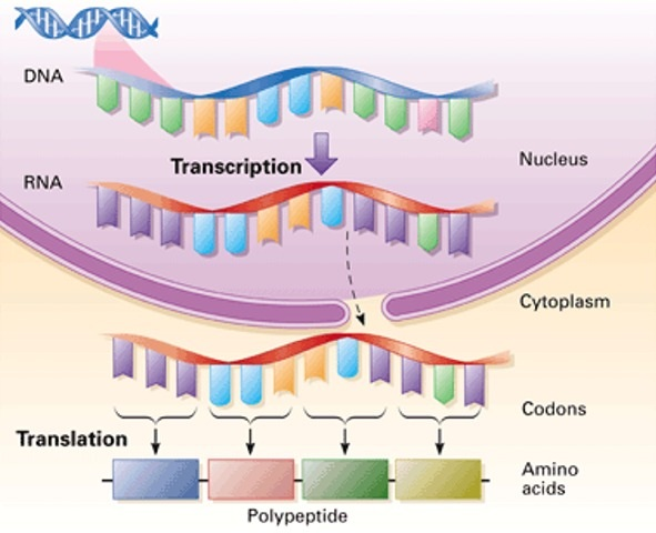 Protein Synthesis Process And Role Of Dna And Rna In It
