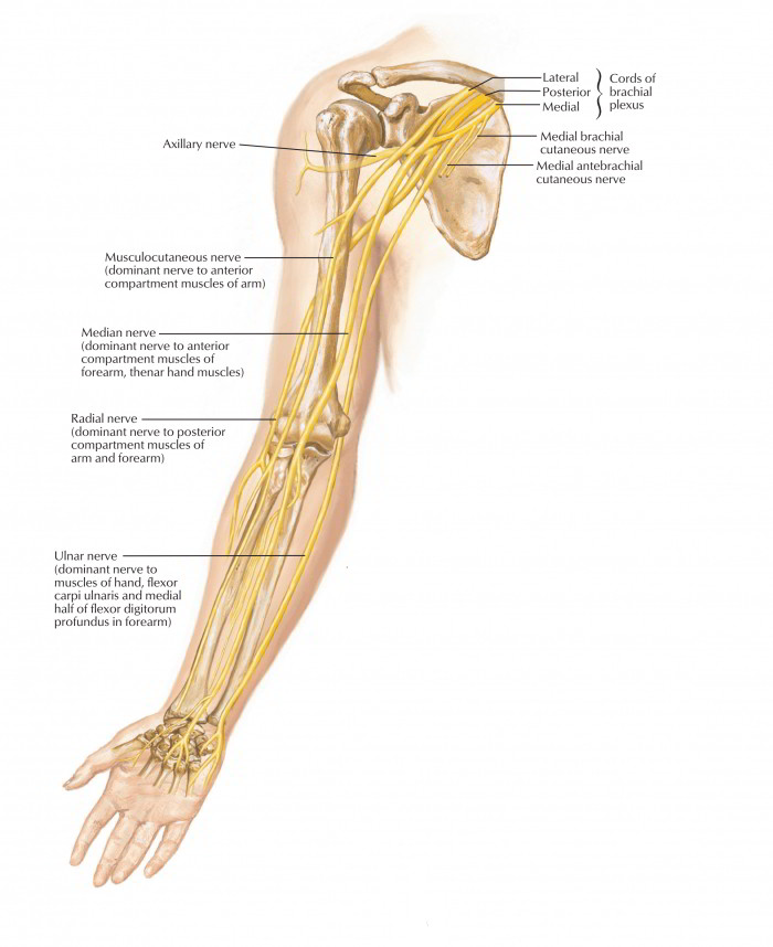 Easy Notes On Ulnar Nervelearn In Just 4 Minutes