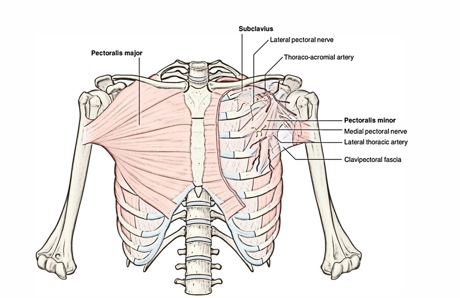 Easy Notes On 【The Pectoral Region – Muscles】Learn in Just 6 Mins!