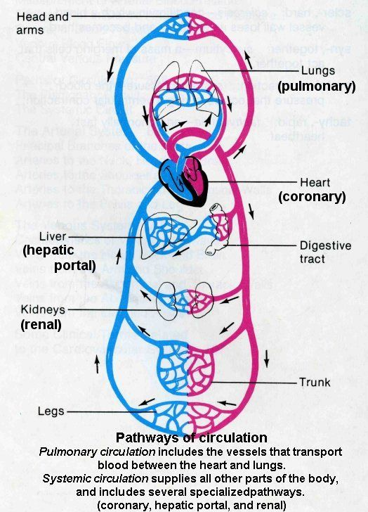 Circulation Pathways Systemic And Pulmonary Circuits