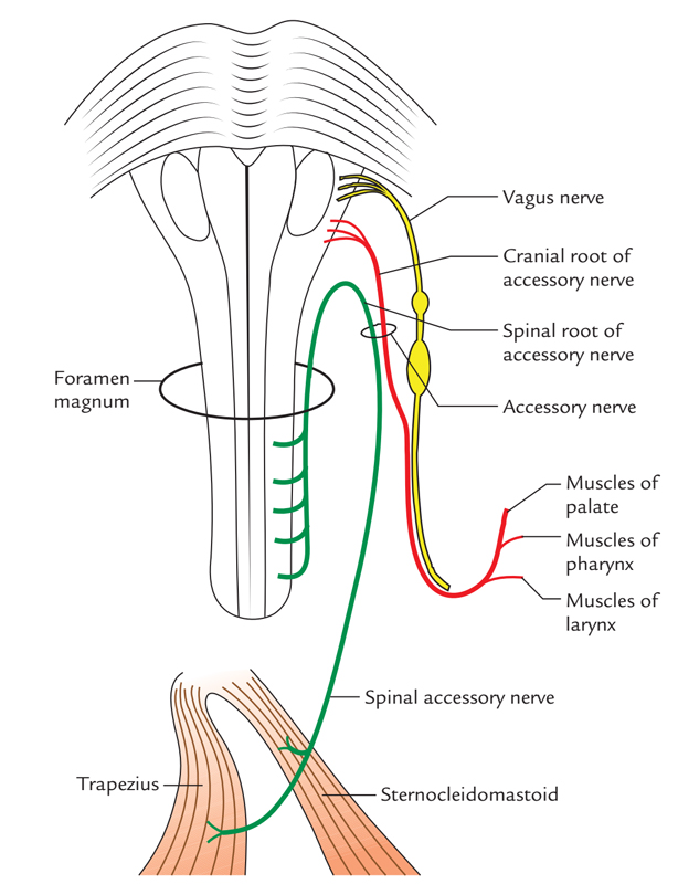 Easy Notes On 【Accessory Nerve】Learn in Just 4 Minutes!