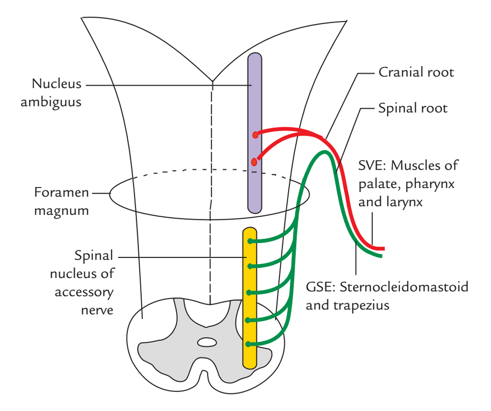 Accessory Nerve: Fucntional Elements and Nuclei