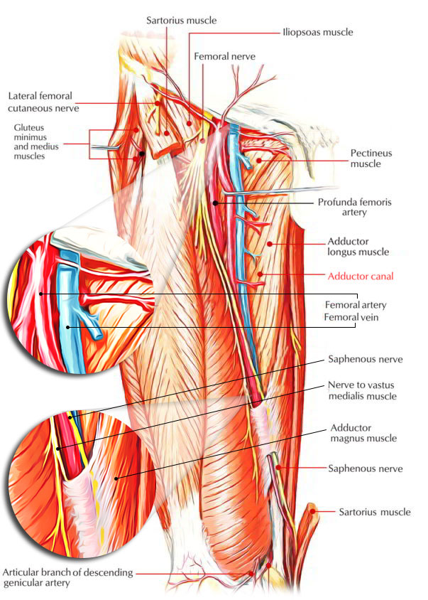 Easy Notes On 【Adductor Canal】(Subsartorial or Hunter\'s Canal)
