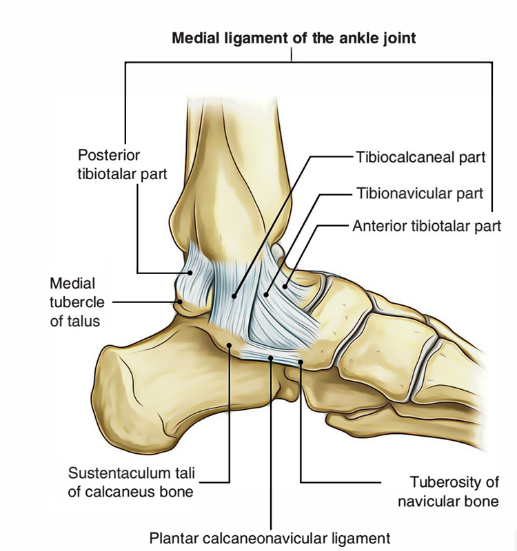 Ankle Joint: Medial Ligament