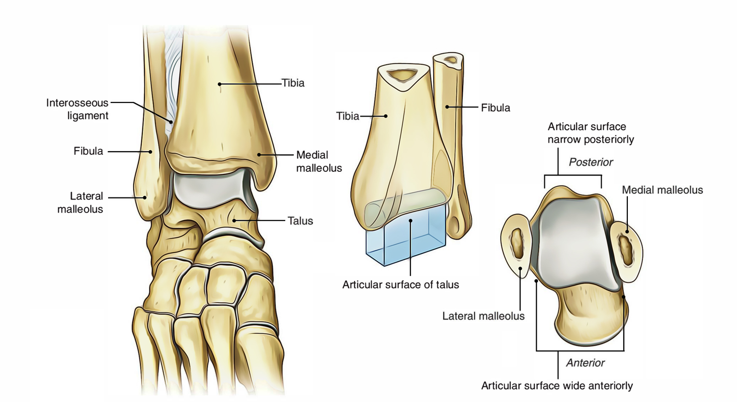 Easy Notes On 【Ankle Joint (Talocrural Joint)】Learn in Just 4 Minutes!