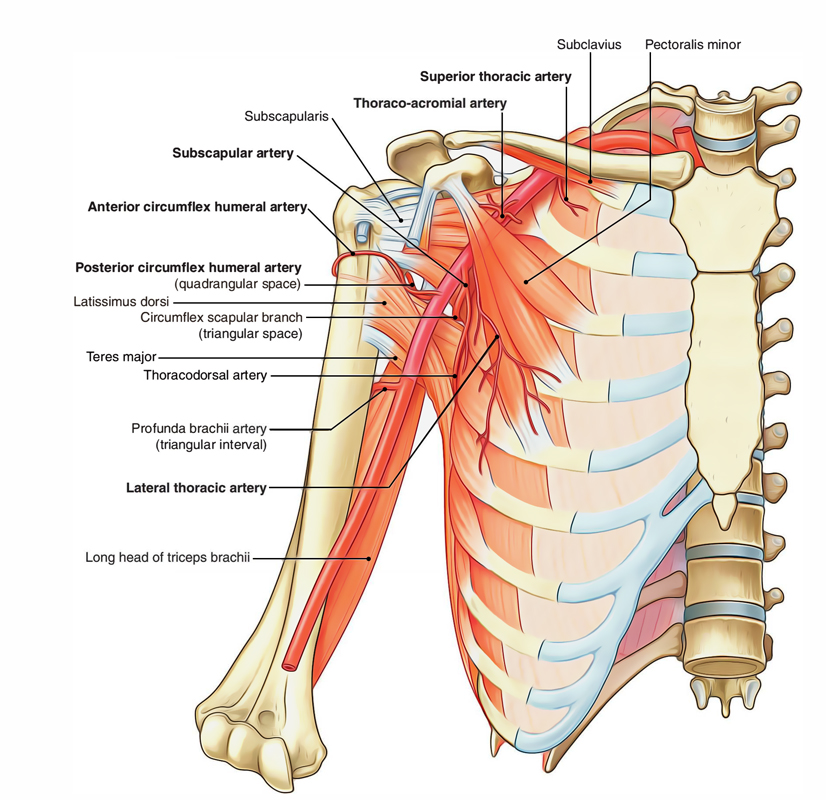 Easy Notes On 【Axillary Artery】Learn in Just 4 Minutes!