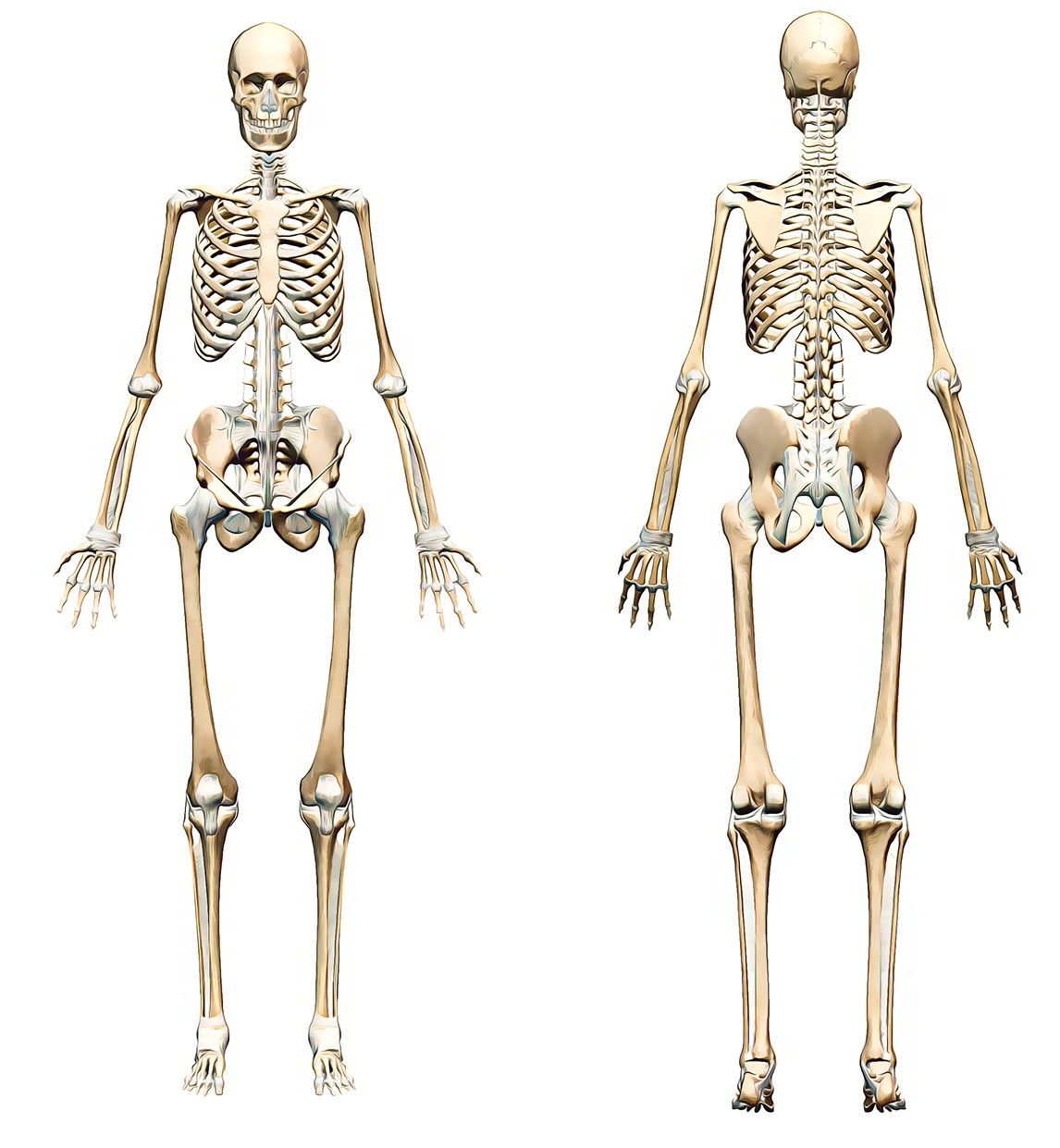 Easy Notes On Human Skeletal Systemlearn In Just 3 Minutes