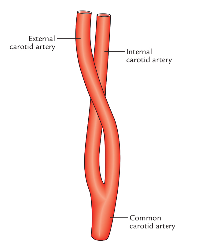 Common Carotid Artery: Branches