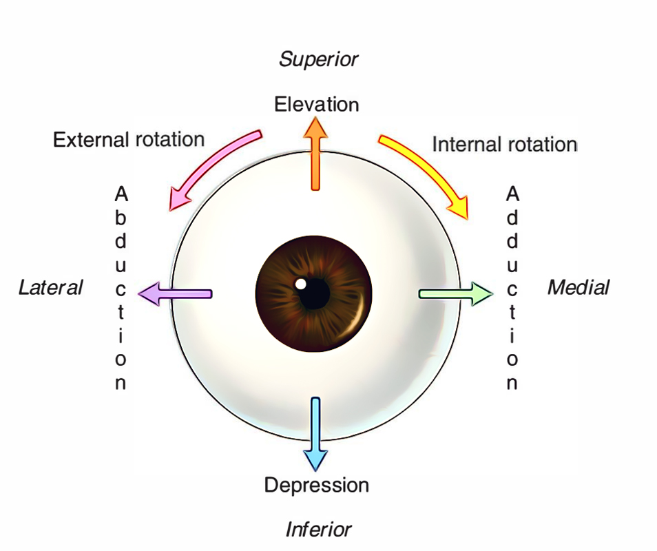 Extraocular Muscles: Activities of Muscles