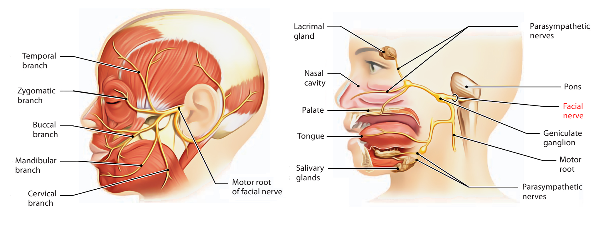 Anatomy of the facial nerve this phrase