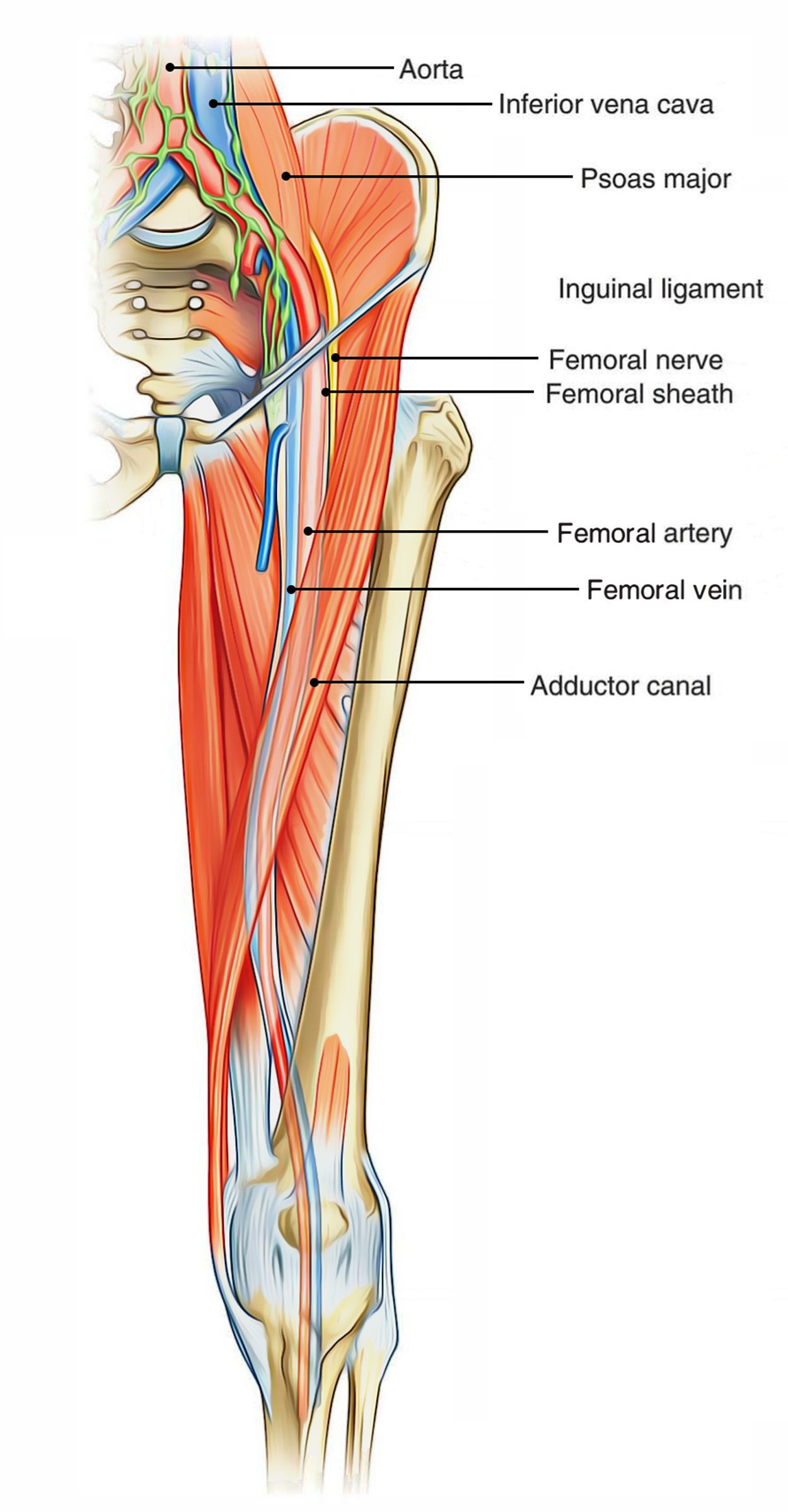 Easy Notes On Femoral Trianglelearn In Just 4 Minutes