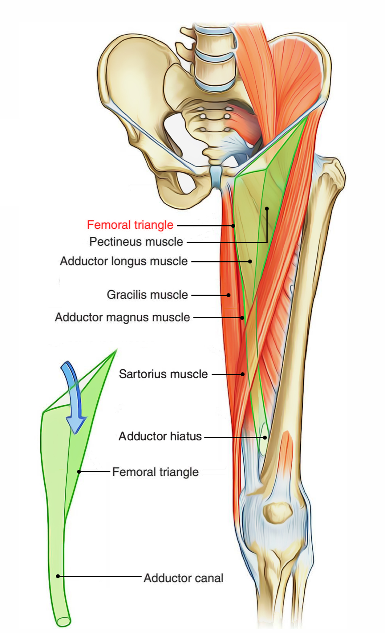 Easy Notes On 【Femoral Triangle】Learn in Just 4 Minutes!