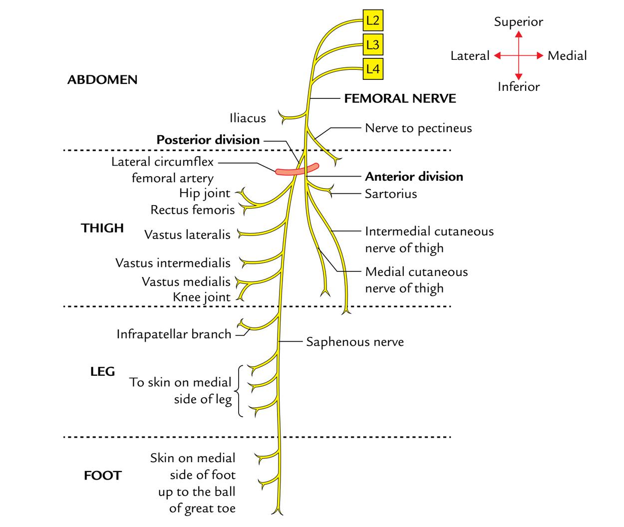 Femoral Nerve: Branches