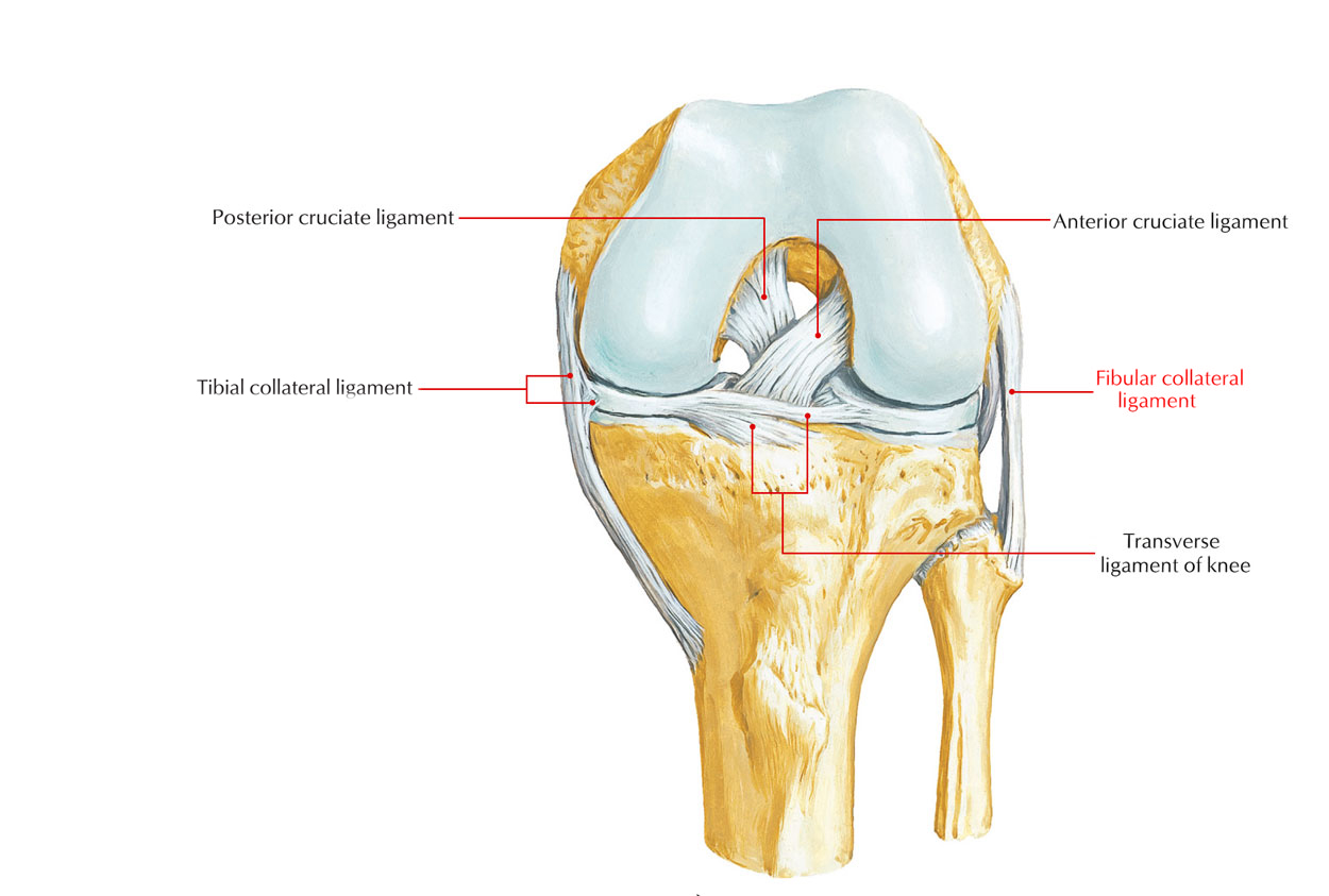 Easy Notes On 【Ligaments of the Knee Joint】Learn in Just 3 Minutes!