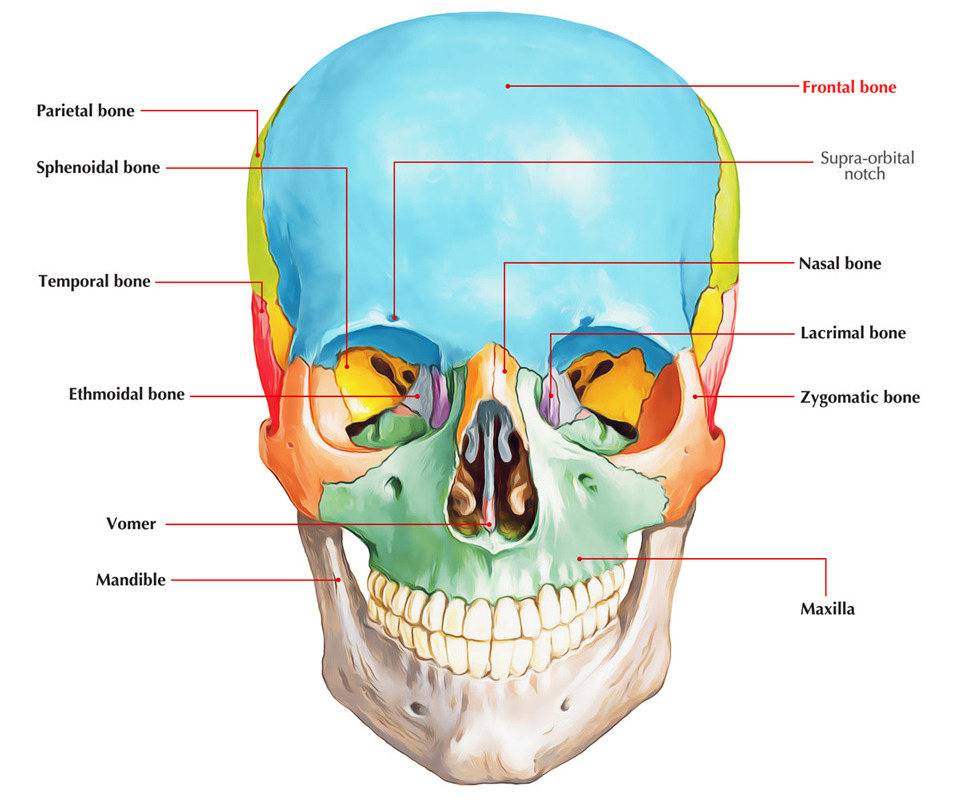 Easy Notes On Frontal Bonelearn In Just 4 Minutes