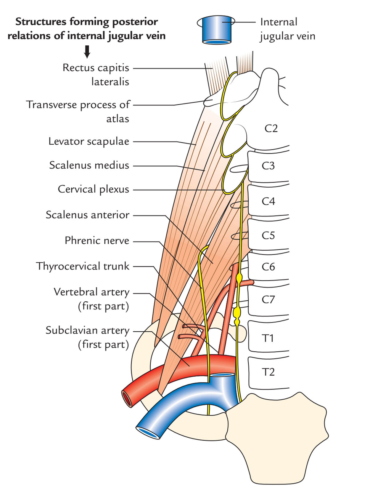 Internal Jugular Vein: Connections