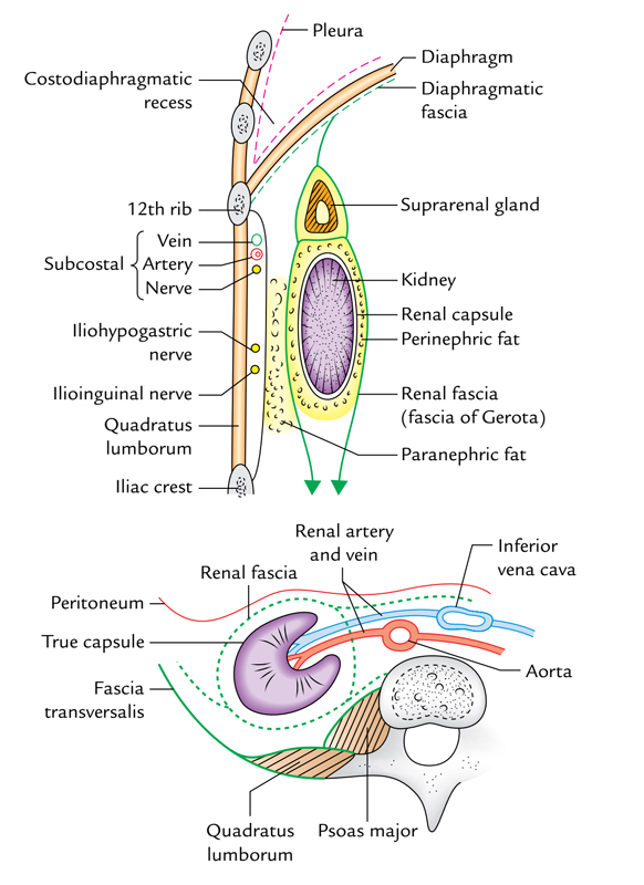 Kidneys: Capsules of Kidneys