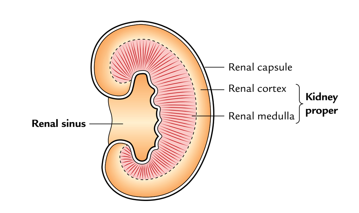 Kidneys: Renal Sinus