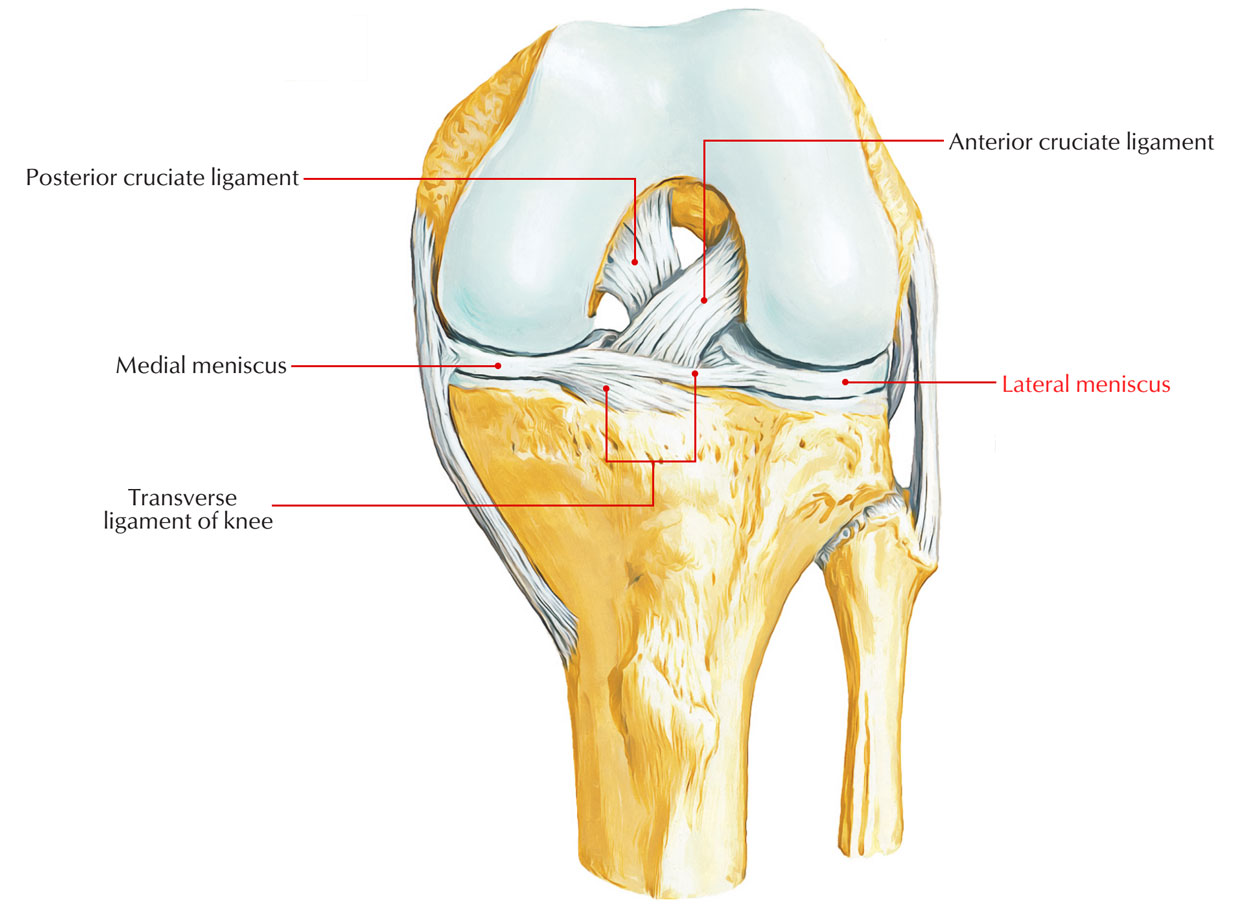 Ligaments of Knee Joint: Medial and Lateral Meniscus
