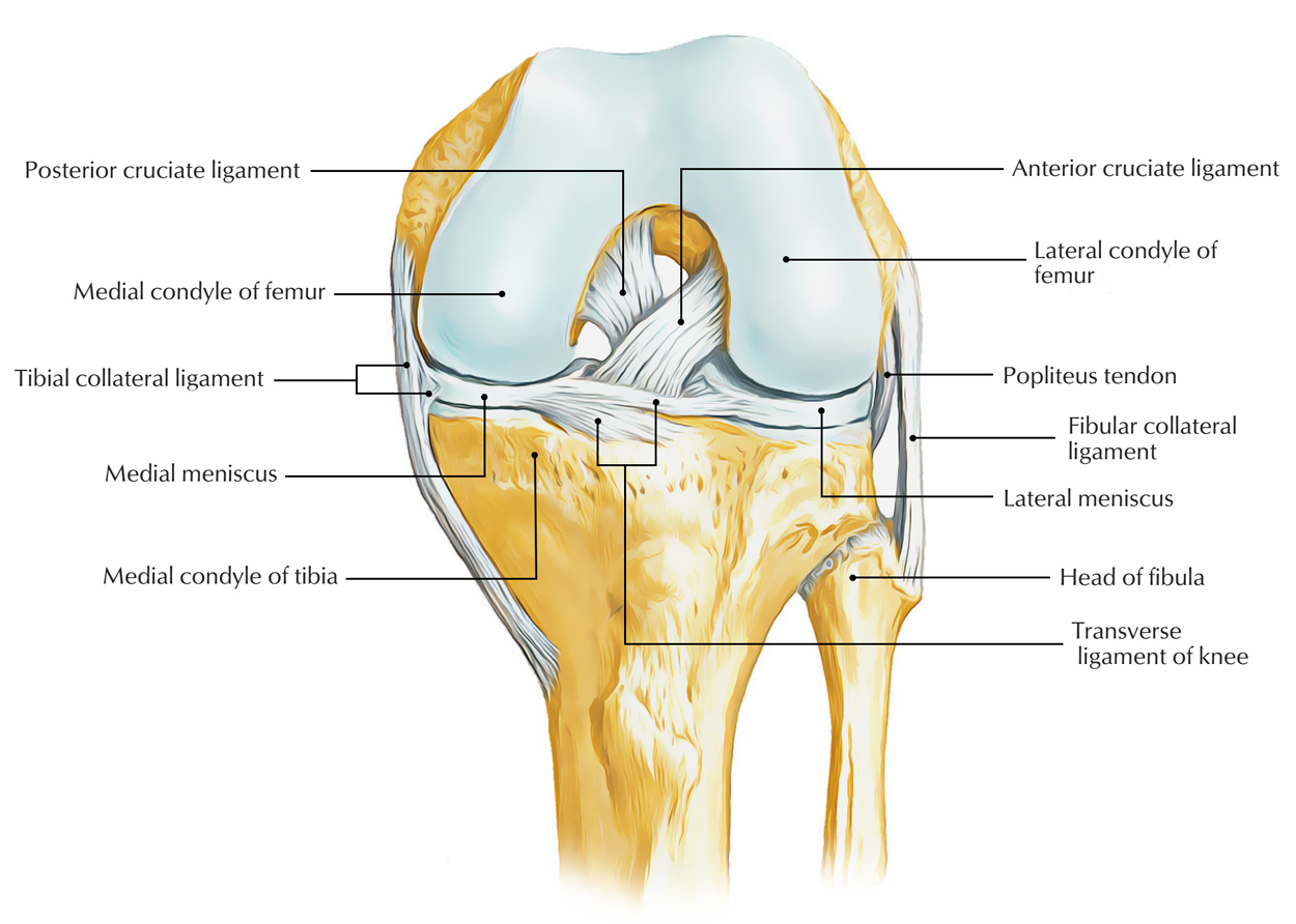 Easy Notes On Ligaments Of The Knee Jointlearn In Just 3 Minutes