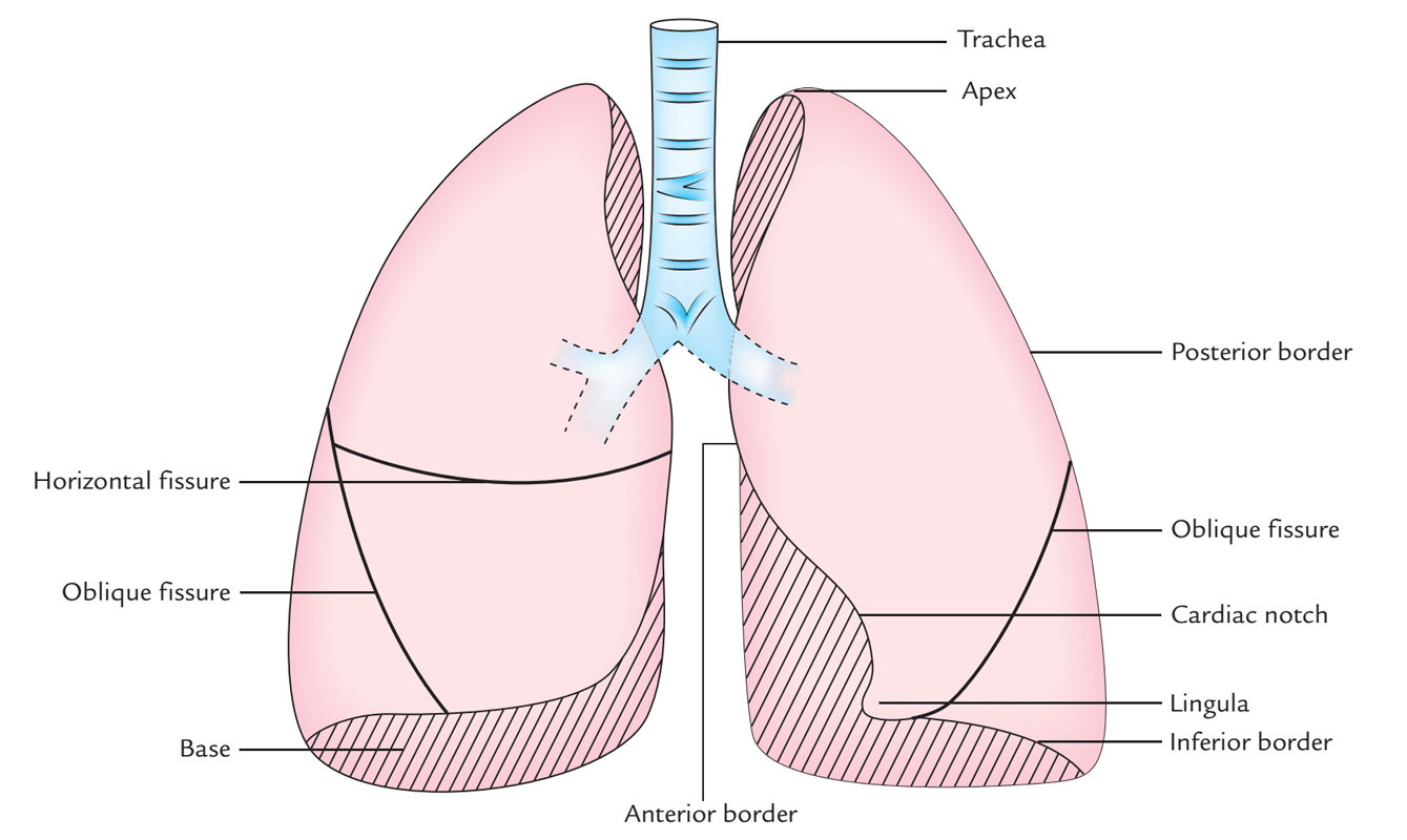 Surface Markings of Lungs: Fissures