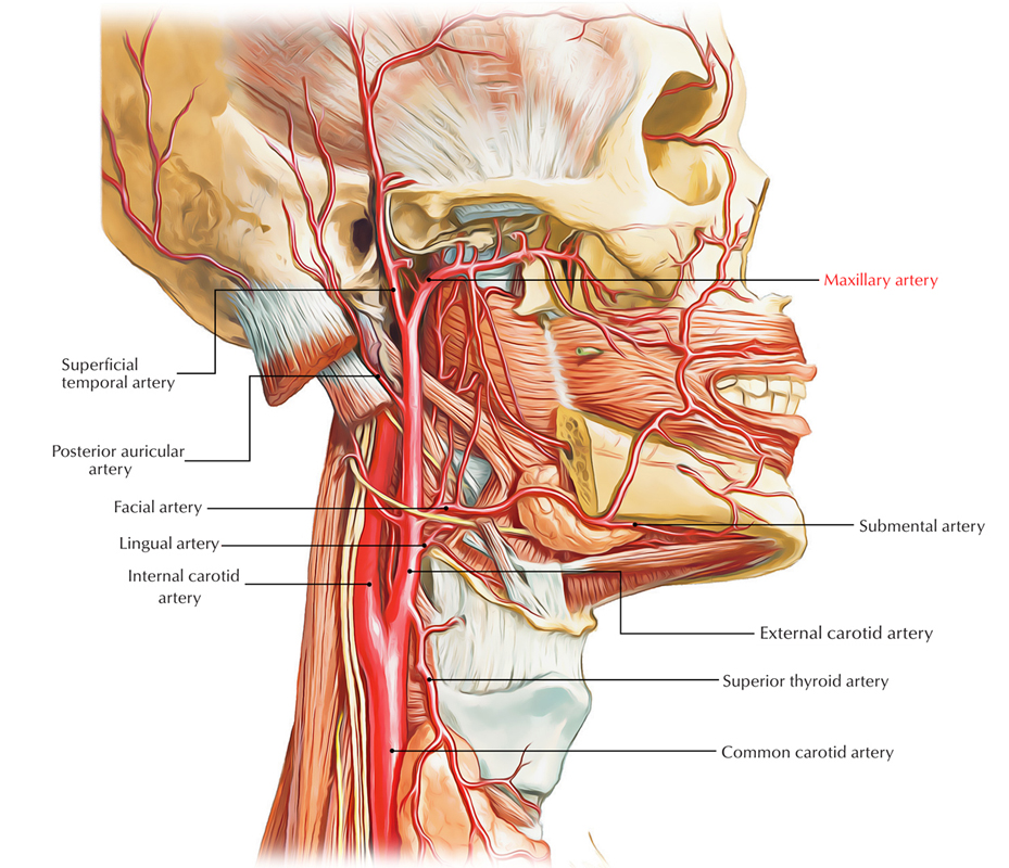 Easy Notes On 【Maxillary Artery】Learn in Just 4 Minutes!