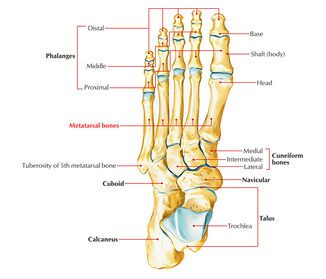 Skeleton of the Foot: Metatarsal Bones