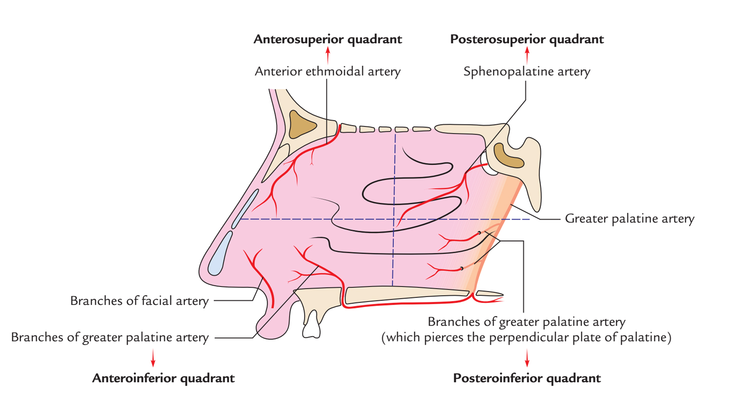 Nasal Cavity: Arterial Supply of Lateral Wall
