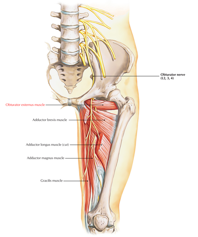Obturator Externus Muscle