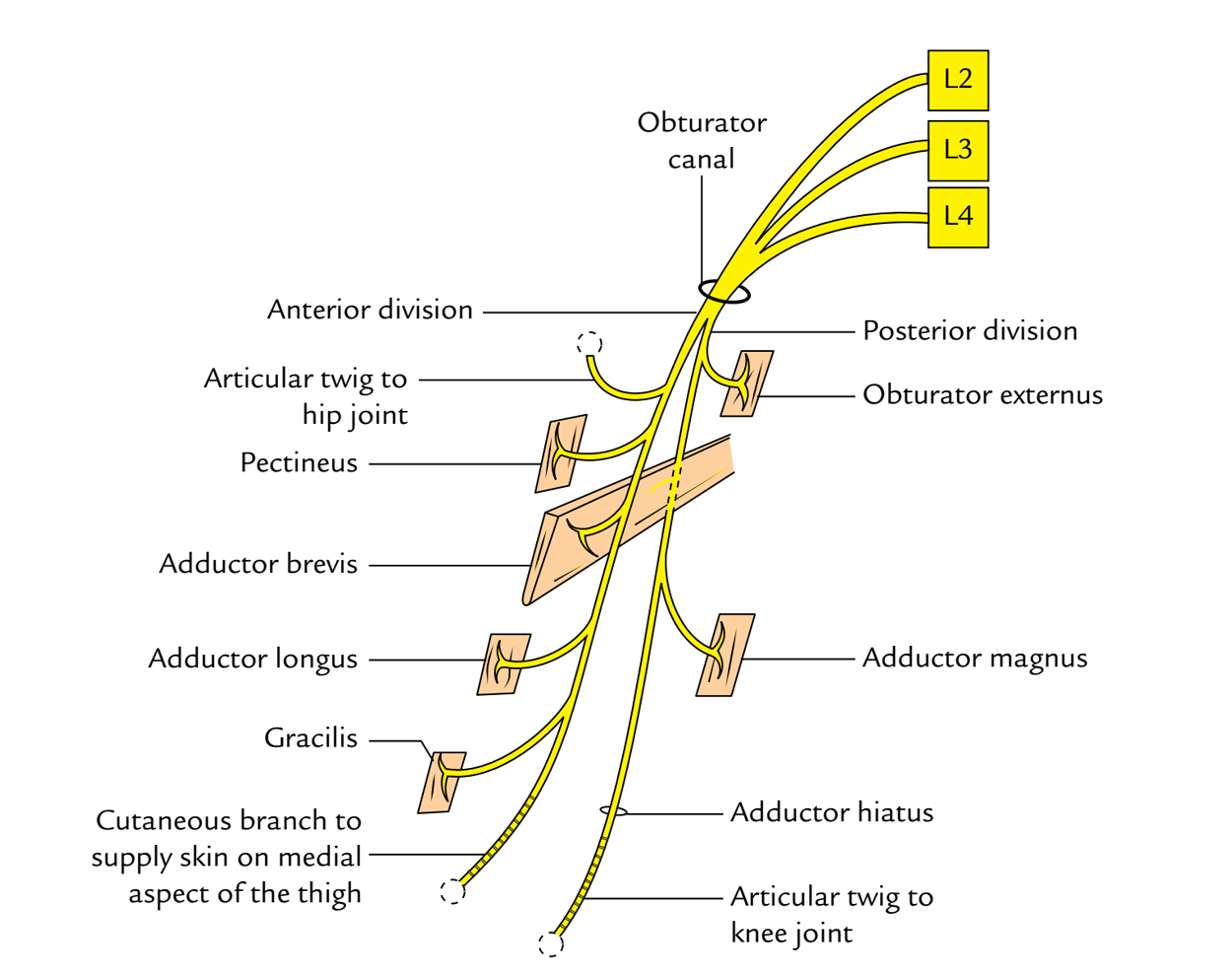 Obturator Nerve: Course and Distribution
