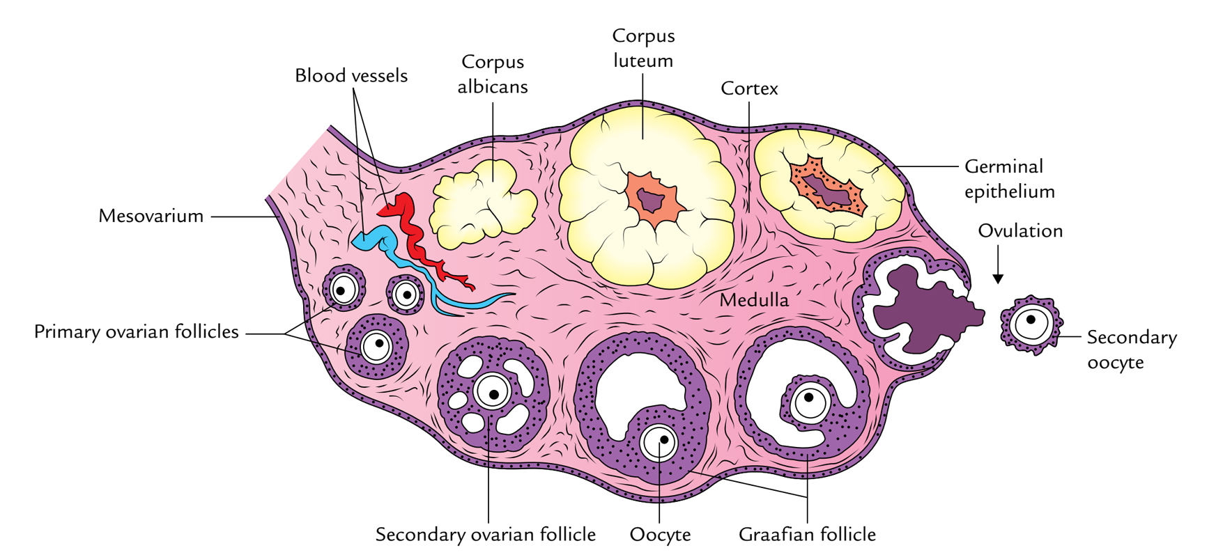 Ovaries: Structure