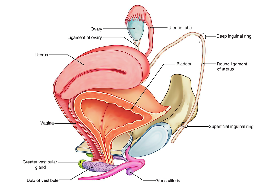 Easy Notes On 【Ovaries】Learn in Just 4 Minutes!