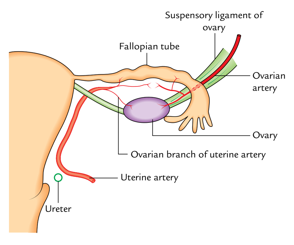 Ovaries: Arterial Supply
