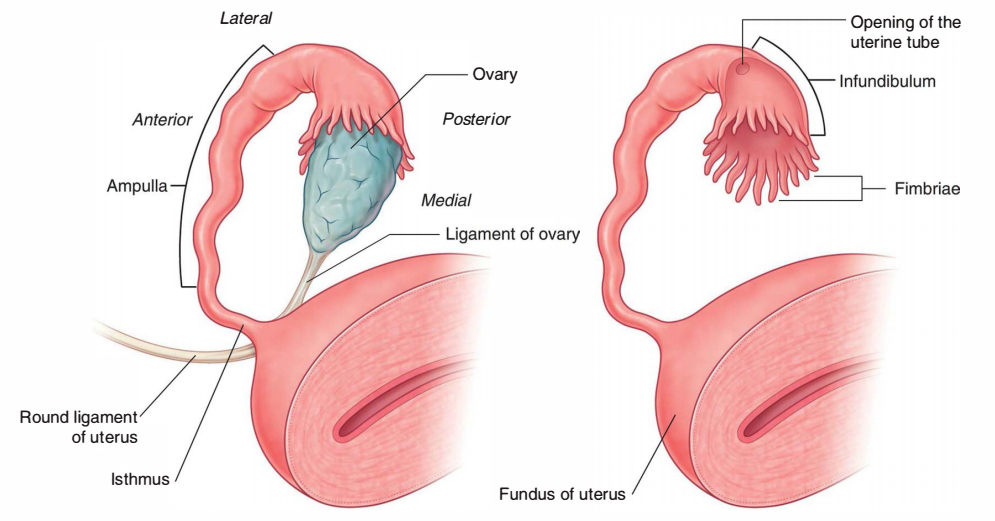 Parts of the Uterine Tubes