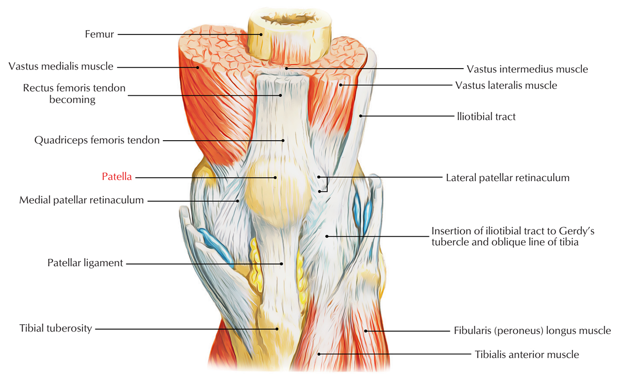 Easy Notes On Patella Knee Caplearn In Just 3 Minutes