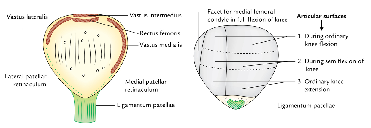Patella: Features and Attachments
